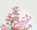 분홍찔레에 대한 몇가지 생각