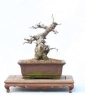 윤노리나무