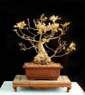 물푸레나무 중품
