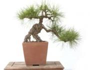 소나무 자연근상