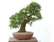 팽나무 14번
