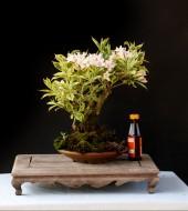 무늬 병꽃나무