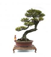 문인목형 취류 소나무