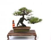 암반에서 캐어올린 소나무