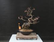 자연산 산벚나무