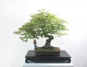 자연산 산단풍나무