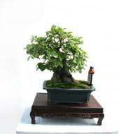 중품 팽나무