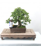 소사나무 11 단아한 모양목
