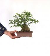돌팽나무 소품 5번