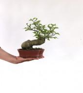 돌팽나무 3번