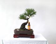 소나무 7번 사간형 모양목