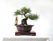 소나무 4번 문인목형 모양목