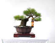 소나무 3번 사간형 모양목